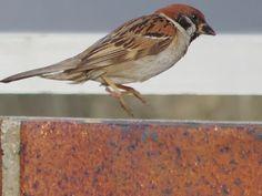 150807sスズメ,Sparrow,wild bird