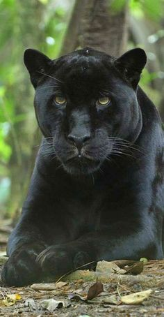 This Panther represents beauty, strong will, and courage.