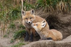 Red fox kits | Red Fox Kit: Photo by Photographer Walter Nussbaumer - photo.net