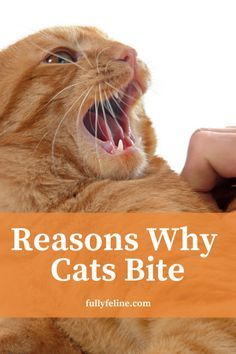 cat facts You may think your cat didnt warn before biting, but its possible she gave you warning signs you didnt understand. Here are some reasons why cats bite: I Love Cats, Cute Cats, Kitten Biting, Panther, Cat Toilet Training, Cat Hacks, Cat Care Tips, Pet Care, Pet Tips