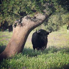Toro en el Campo Charro #campo #toros #paisaje #campocharro #dehesa