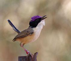 Het purperkruinelfje (Malurus coronatus) is een vogel uit de familie van de elfjes (Maluridae)e soort komt voor in het noorden van Australië.