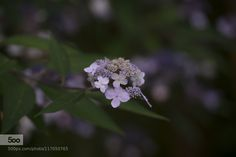 Hydrangea by H_D #nature