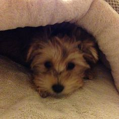 ~ Daily Dose of Cuteness ~  Kaia is trying to hide! 🐾❤🐾 (Shared by Sharon Rollman-Occhipinti) #DogoftheDay http://aboutmorkies.com/ Follow us: Facebook.com/YorkiesMorkiesMaltese Twitter.com/morkienation #dog #doglovers #animals #pets #yorkies #yorkie #yorkielovers #petlovers #dogowners #puppy #adorablepets #sillydogs #smallanimals #instadogs #instayorkie #instapuppy #instaanimals #petsofinstagram #dogsofinstagram #yorkieofinstagram #puppylove #animallovers #ilovemypet #ilovemyyorkie