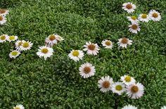 ground cover - Erigeron scopulinus Sunny Side Up Fleabane