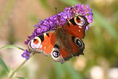 Wer Schmetterlinge durch den Garten tanzen sehen möchte, muss auch Raupen aushalten - http://gartensaison-gartentipps.blogspot.de/2015/06/wer-schmetterlinge-im-garten-raupen-futterpflanzen-nektarapflanzen.html