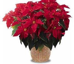Cómo cuidar la Poinsettia o planta de Navidad - 7 pasos