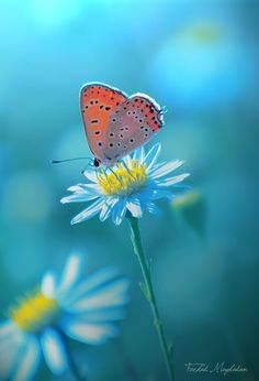 Butterfly in a daisy - nature and wildlife photo - blue hour light Butterfly Kisses, Butterfly Flowers, Beautiful Butterflies, Beautiful Flowers, Beautiful Pictures, Orange Butterfly, Monarch Butterfly, Simply Beautiful, Image Nature