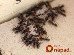 Táto pasca funguje ako magnet. A čo je najlepšie, mravce si ju prinesú aj medzi ďalších kamarátov z kolónie!