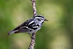 Black-and-white Warbler, Strathcona County, Alberta