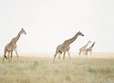2,393 отметок «Нравится», 25 комментариев — Style Me Pretty Living (@smpliving) в Instagram: «Who wants to go on an African Safari excursion? We do!🙋#TravelTuesday   Photography: @ktmerry»