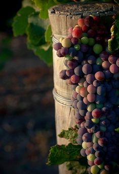 We live in OH wine country... and ripening grapes really are the color of autumn!