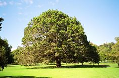 Algerian Oak, (Quercus canariensis) Notable Tree