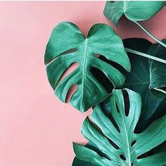 Tropical leaves against pink wall #color #photography #texture #plants #nature #pastel #inspiration
