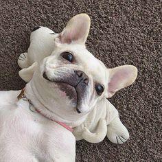 ♡2016. 4.18 . ワンコ枕でゴロ〜ン . #frenchbulldog #frenchie #pet #dog #instadog #instapet #ilovemydog #instafrenchie #ilovefrenchies #dogstagram #thefrenchiepost #buhi #cream女子の会 #ブヒ #犬 #犬バカ部 #鼻ぺちゃ #たれ目 #フレンチブルドッグ #フレブル #二重あご #三重あご