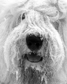 Close-up photography of an Old English Sheepdog frosty from being in the snow.