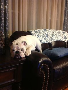 ❤ Diesel - claiming the couch & take ❤