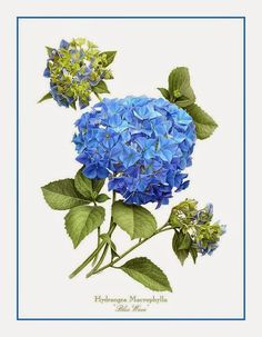 Hydrangea Blue Wave Art Print by Artellus Artworks. All prints are professionally printed, packaged, and shipped within 3 - 4 business days. Illustration Botanique, Illustration Blume, Vintage Botanical Prints, Botanical Drawings, Vintage Botanical Illustration, Botanical Flowers, Botanical Art, Art Floral, Hydrangea Painting