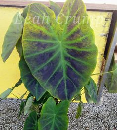 Tropical (Elephant Ear) Colocasia 'illustris' THE IMPERIAL TARO Part Sun/ Shade Sun Shade, Plants, Colocasia, Planting Flowers, Growing Greens, Flowers, Leaves, Plant Leaves, Plant Pictures