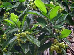 Society for Growing Australian Plants Townsville - Acronychia acidula  Lemon Aspen