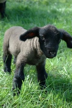 Baa baa black sheep have you any wool? Love the little lamb! Maybe, I should start a sheep farm. Cute Baby Animals, Funny Animals, Farm Animals, Wild Animals, Beautiful Creatures, Animals Beautiful, Little Babies, Cute Babies, Lil Baby