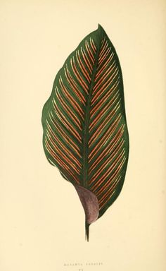 Edward Joseph Lowe, Colored foliage plants, Les plantes a feuillage coloré, 1867-70. Paris, Rothschild.