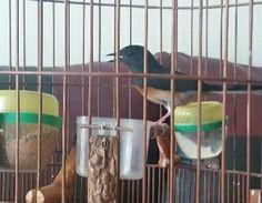 Suara Murai Batu Betina – Macet bunyi memang kerap terjadi hampir pada setiap jenis burung berkicau. Disamping itu, makna dari kata macet bunyi, sebenarnya lebih identik dan merujuk pada ... Read moreDownload Suara Murai Batu Betina untuk Pancingan Animals, Animales, Animaux, Animal, Animais