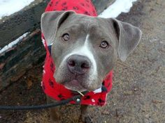TO BE DESTROYED - 02/09/15 Manhattan Center -P  My name is LYRIC. My Animal ID # is A1026344. I am a spayed female gray and white staffordshire mix. The shelter thinks I am about 1 YEAR 10 MONTHS old.  I came in the shelter as a OWNER SUR on 01/26/2015 from NY 10029, owner surrender reason stated was LLORDPRIVA.