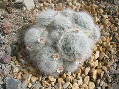 Mammillaria glassii. Northeastern Mexico native. Ball/clumping shape.