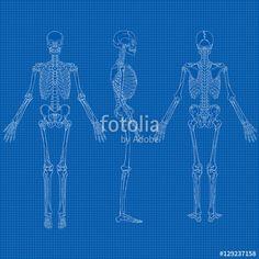 Vektör: Human Skeleton Blueprint Vector