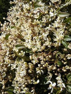Clematis armandii - Blog about these beauties by Woolly Green