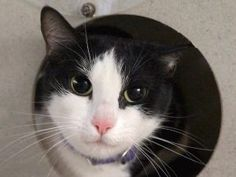 PINKY HAS A VIDEO - WATCH IT HERE!  PINKY IS A 2 YR OLD SPAYED GIRL WHO NEEDS A NEW HOME WITH AN  EXPERIENCED ADOPTER!