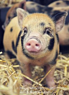 micro pig... My hubs and I have seriously been considering getting a micro pig. They make amazing pets. ❤❤❤
