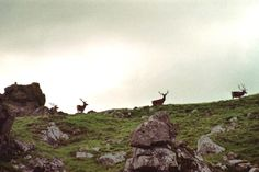Herd of red deer on Inisvickilaun Old Irish, Red Deer, Islands, Mountains, Heart, Places, Travel, Ideas, Viajes