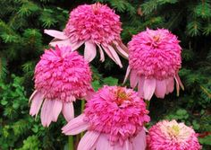Echinacea flower – learn grow #echinacea http://www.growplants.org/growing/echinacea