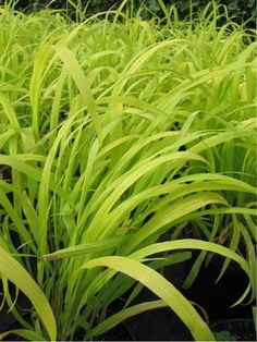 Carex \'Bronze Reflection\' | Grass gardens | Pinterest | Reflection ...