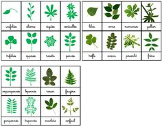 Crapouillotage: FEUILLES : Les différentes type selon la disposition des FOLIOLES Montessori Activities, Preschool Learning, Leaf Identification, Bricolage Halloween, Teaching French, Too Cool For School, Land Art, Botany, Art School