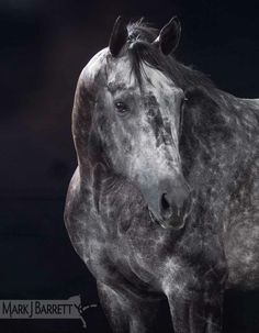 "Dapple Gray Horse :: Thoroughbred stallion ""Unbridled Time"""