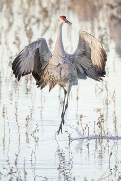 Sandhill Pirhouette by Jeff Dyck, via Flickr