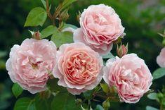 La Rosa, coltivazione e cura: i consigli di Viridea | Shabby Chic Mania by Grazia Maiolino