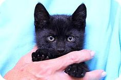 Bensalem, PA - Domestic Shorthair. Meet 14-1696, a kitten for adoption. http://www.adoptapet.com/pet/11059939-bensalem-pennsylvania-kitten