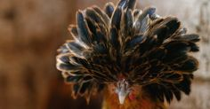 O topete do galo da raça polonesa dourada é formado por penas escuras com bordas mais claras. Os machos da raça pesam até 2,5 kg e as galinhas, 2 kg. O ovo custa R$ 4