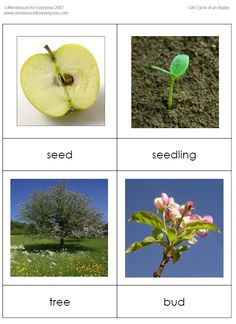 Life Cycle of an Apple Sequencing Cards