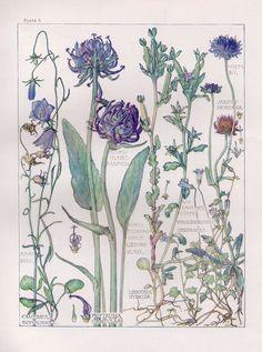 English Wild Flower Botanical Print by Isabel Adams - Antique Print