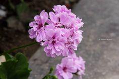 esta flor la tome en las calles de  san isidro.. si que se veían hermosas, y su olor ni que decir, rica aroma