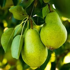 RM is like a pear.  Both have crunch to them and are in many aspects, a unique fruit.