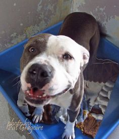 A4788749 I am a very friendly and loving 2 yr old female brown/white pit bull mix. I came to the shelter as a stray on Jan 2. available 1/6/15 Baldwin Park shelter https://www.facebook.com/photo.php?fbid=906414516037053&set=a.705235432821630&type=3&theater