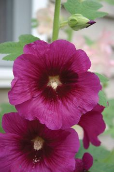 "This is the old fashioned hollyhock found in grandmother's garden. Plants are at least 8' tall and covered with 4"" blooms in many colors. Very hardy in zones 3-9, Antwerp will not flower until the sec"