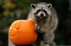 Raccoons, despite their adorable trickery, lost in their first round match.   The Next Big Animal Is Crowned