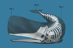 The London Whale resurfaces: Bruno Iksil speaks out Whale Drawing, Fauna Marina, Artistic Visions, Wale, Anatomy Drawing, Killer Whales, Sea World, Ocean Life, Creature Design